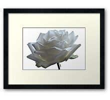 White Wedding Rose. Framed Print