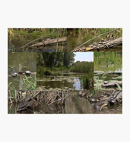 Painted Turtles Collage  Photographic Print