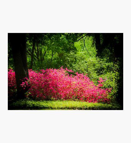 Garden Azaleas Photographic Print
