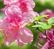 Pink Azalea Flowers by Michael Shake