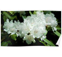 White Azalea Flowers Poster