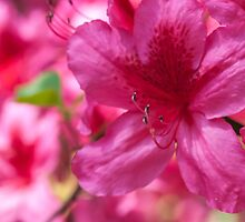 Pink Azalea Flowers by Michael Shake