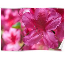 Pink Azalea Flowers Poster