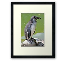 Zürich Zoo, Pinguin Framed Print