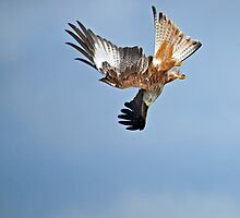 Red Kite Stooping by Sue Robinson