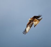 Red Kite Turning by Sue Robinson