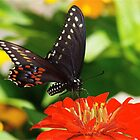 Beautiful Black Swallowtail by autumnwind