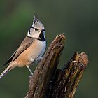 Crested tit - II by Peter Wiggerman