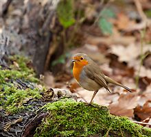 Robin in Woodland by Sue Robinson