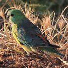Red-rumped Parrot (Psephotus (Psephotus) haematonotus) - Carrickalinga, South Australia by Dan & Emma Monceaux