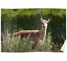 Pronghorn Fawn in Wildflowers Poster