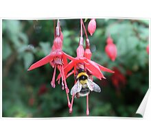 Bee in Flower Poster