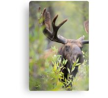 Bull Moose Smelling Bushes Metal Print