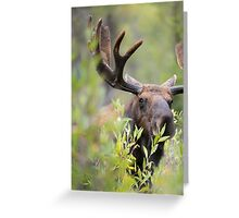 Bull Moose Smelling Bushes Greeting Card