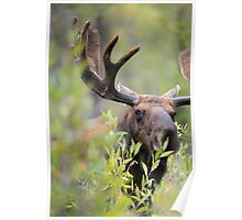 Bull Moose Smelling Bushes Poster