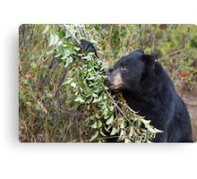 Black Bear Looking Up Branch Canvas Print