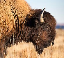 Bison Walking Closeup by cavaroc