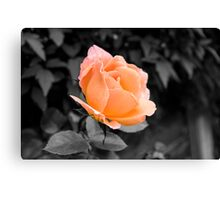 Passion Peach Canvas Print