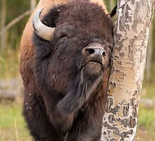 Bison Scratching an Itch by cavaroc