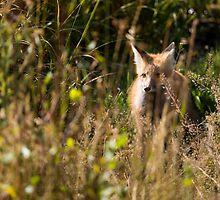Hunting Red Fox by cavaroc