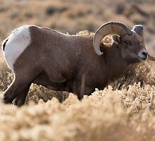 Bighorn Sheep Ram in Sagebrush by cavaroc