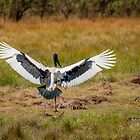 Flight of the Jabiru by Natalie Ord