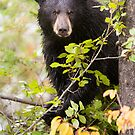 Concerned Black Bear in a Tree by cavaroc