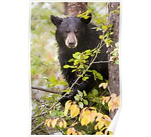 Concerned Black Bear in a Tree Poster