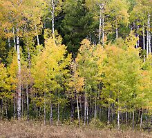 Fall Leaves on Aspen Trees by cavaroc