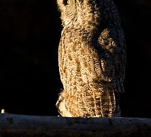 Perched Great Gray Owl by cavaroc