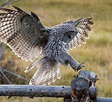 Great Gray Owl Landing by cavaroc