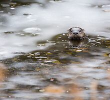 Otter Peeking from Ice by cavaroc