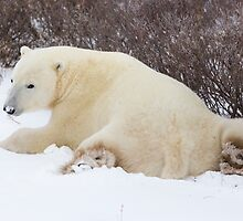 Resting Polar Bear in Snow by cavaroc