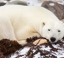 Resting Polar Bear by cavaroc