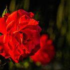 Sunset rose by Celeste Mookherjee
