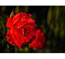 Sunset rose Photographic Print