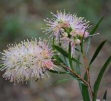 Bottlebrush by Dreamanon