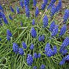 Blue Flowers  by KirstyJSwinger