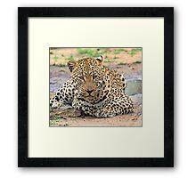 A big dominant leopard Framed Print