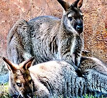 Wallaby Mates by Amy McDaniel
