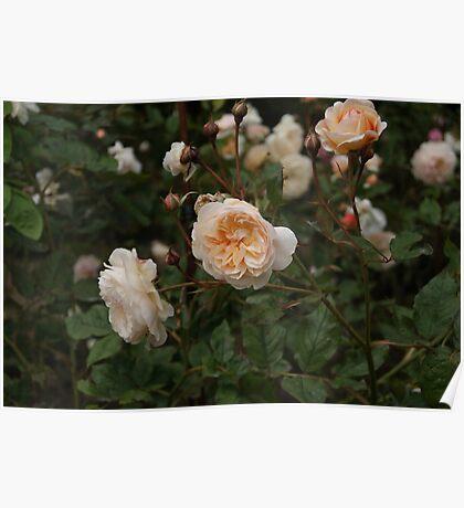 Peach Rose Bush Poster