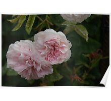 Duo of Pink Roses  Poster