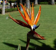 Bird of Paradise  by KirstyJSwinger