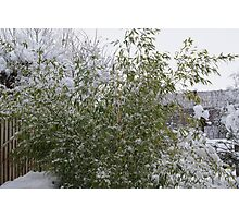 Snowy Bamboo  Photographic Print