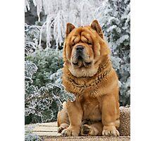Chow dog Photographic Print