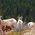 Watch sheep by zumi