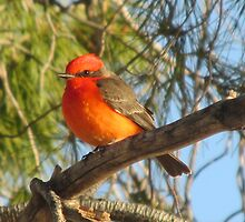 Vermilion Flycatcher by Ingasi