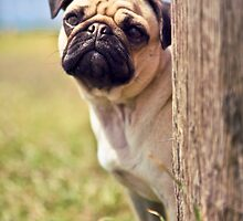 Peek A Boo Pug *PROCEEDS TO CHARITY* by lauriesbrown