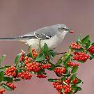 Northern Mockingbird and berries by (Tallow) Dave  Van de Laar
