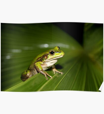 Green and Golden Bell Frog Poster